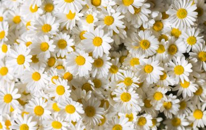 margherita storia del fiore