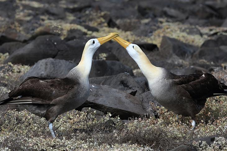 Accoppiamento uccello dei mari