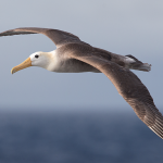 Albatro: tutte le curiosità sul grande uccello dei mari