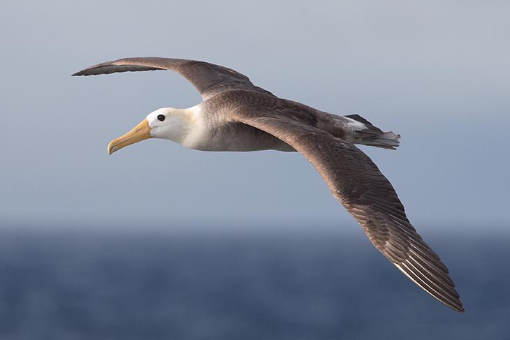 Albatro: caratteristiche e curiosità dell'uccello di mare