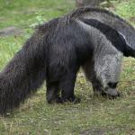 Formichiere: caratteristiche e curiosità di questo animale strano