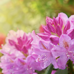 Rododendro: caratteristiche, cura, fiori e coltivazione