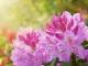 Rododendro fioritura: come prendersene cura