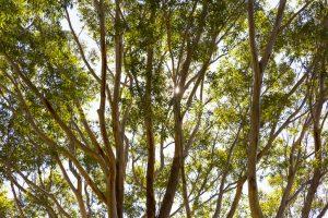 alberi sempreverde l'eucalipto