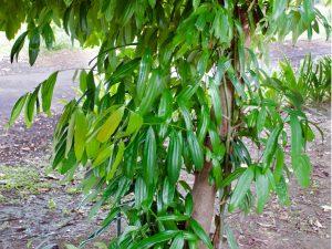 alberi sempreverde albero di cannella