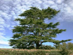 alberi sempreverde il cedro del libano