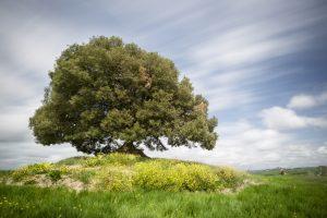 alberi sempreverde il leccio