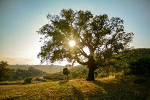 alberi sempreverde la quercia