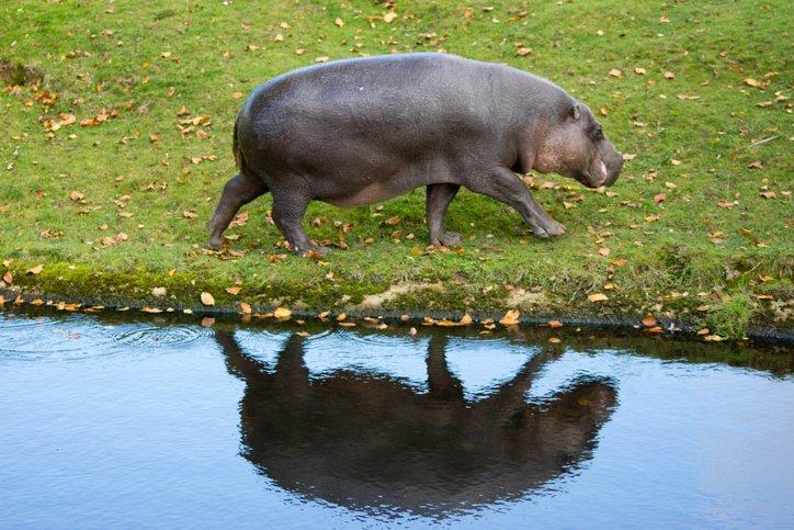 ippopotamo pigmeo i segreti della specie