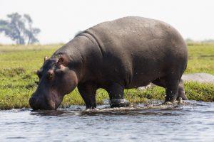 ippopotamo pigmeo e ippopotamo comune