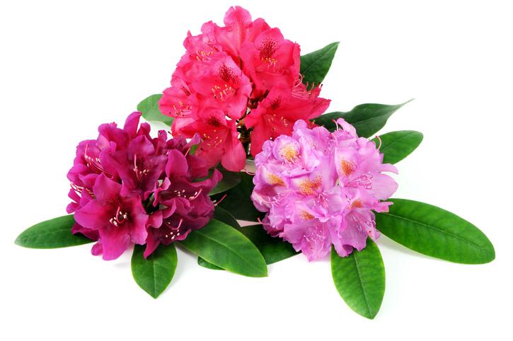 rododendro e azalea differenze