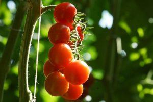 Come coltivare pomodori ciliegini