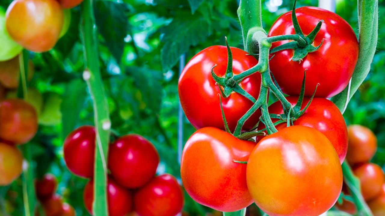 Sostegni Per Pomodori In Vaso coltivare pomodori in giardino o in vaso: guida per iniziare
