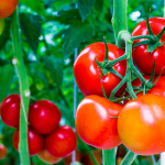 Coltivare pomodori: guida completa per iniziare