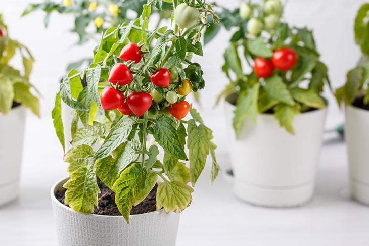 Come coltivare pomodori sul balcone in vaso