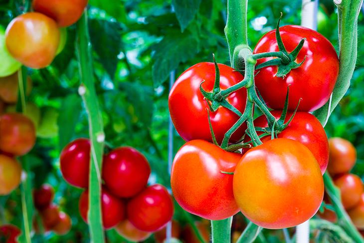 Come coltivare pomodori in giardino o sul balcone: guida per farlo nel modo giusto
