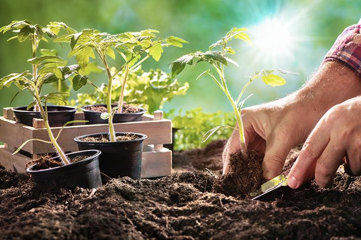 Come piantare i pomodori