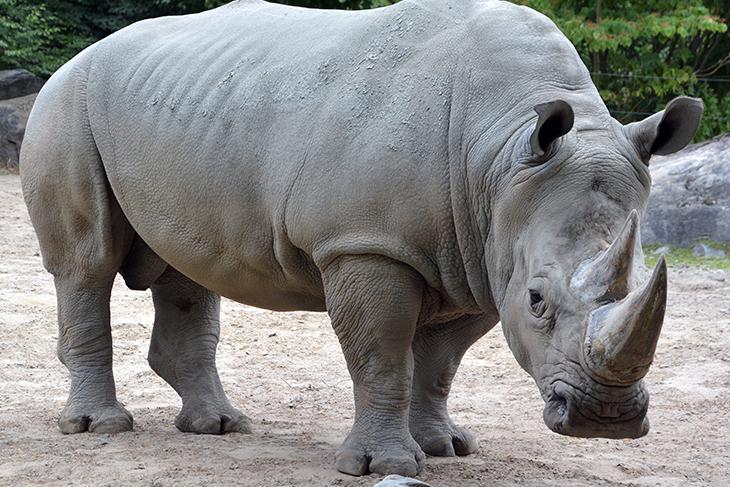 Rinoceronte bianco estinzione: come slavare la specie con embrioni in vitro