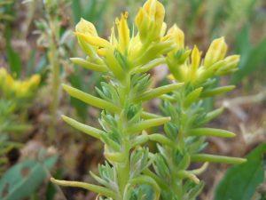Sedum pianta grassa