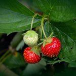 Coltivare fragole: guida per farlo nel modo corretto