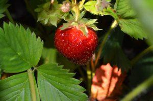 coltivare fragole temperatura