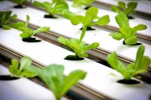 coltivare fragole idrocoltura