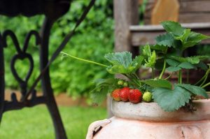 coltivare fragole sul balcone