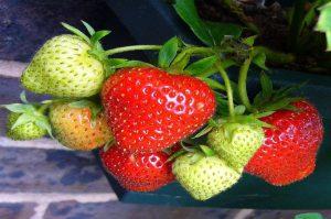 coltivare fragole stolone