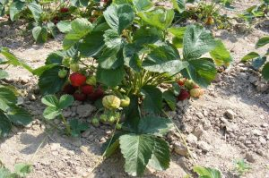coltivare fragole come pacciamare il terreno