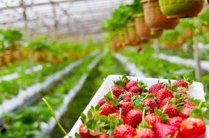 coltivare fragole quando raccoglierle