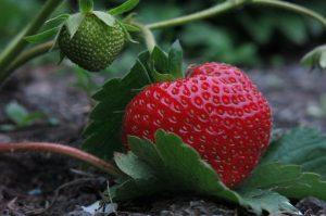 coltivare fragole suolo