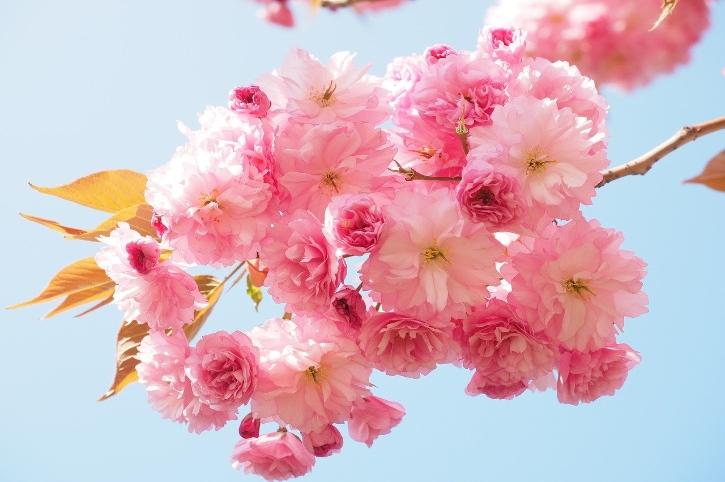 fiori giapponesi fiori di ciliegio