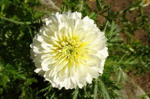 fiori giapponesi il crisantemo