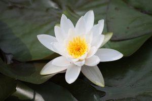 fiori giapponesi il fiore di loto