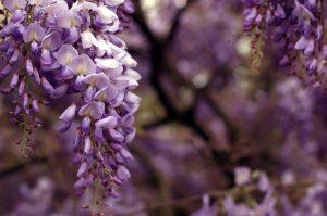 fiori giapponesi il glicine