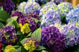 fiori giapponesi l'ortensia