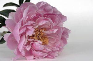 fiori giapponesi la peonia