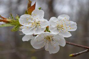 fiori giapponesi il pruno