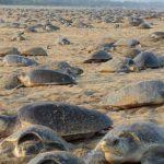 Migliaia di tartarughe sulle coste dell'India libere da turisti e bracconieri
