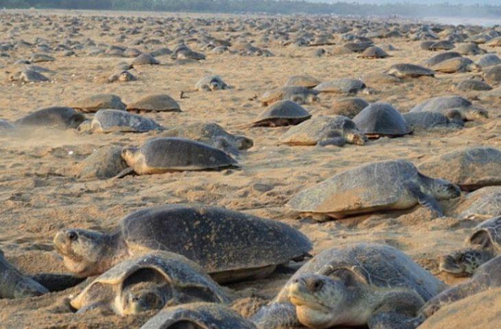 tornano le tartarughe marine sulle spiagge in india