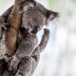 Koala: tutti i segreti dell'animale simbolo dell'Australia