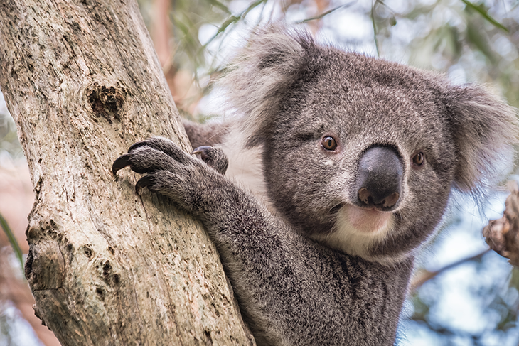Artigli del koala australiano