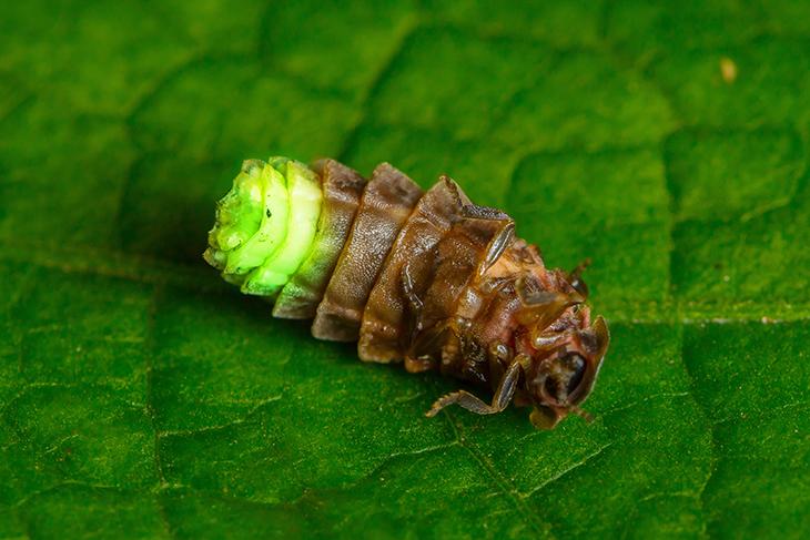Larva di lucciola