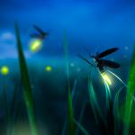 Lucciola: caratteristiche, habitat e curiosità dell'insetto luminoso
