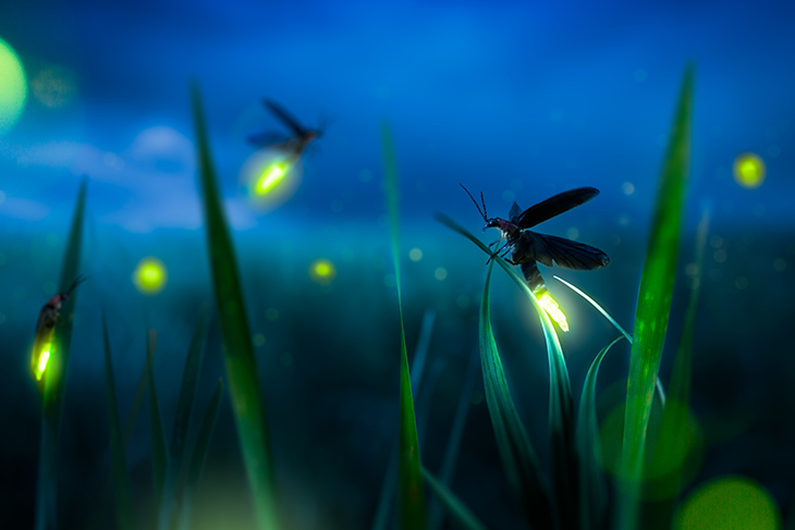 Lucciola: storia e caratteristiche di questo curioso insetto