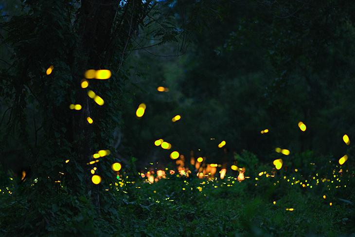 Come mai le lucciole fanno luce