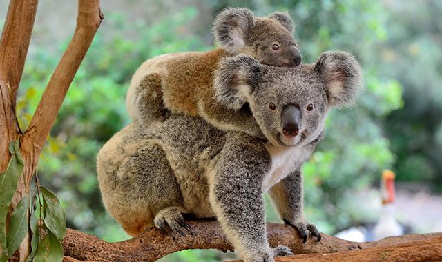 Koala appena nato