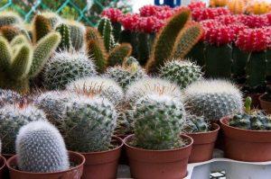 cactus malattie e parassiti delle succulente