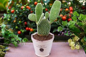 cactus trapianto
