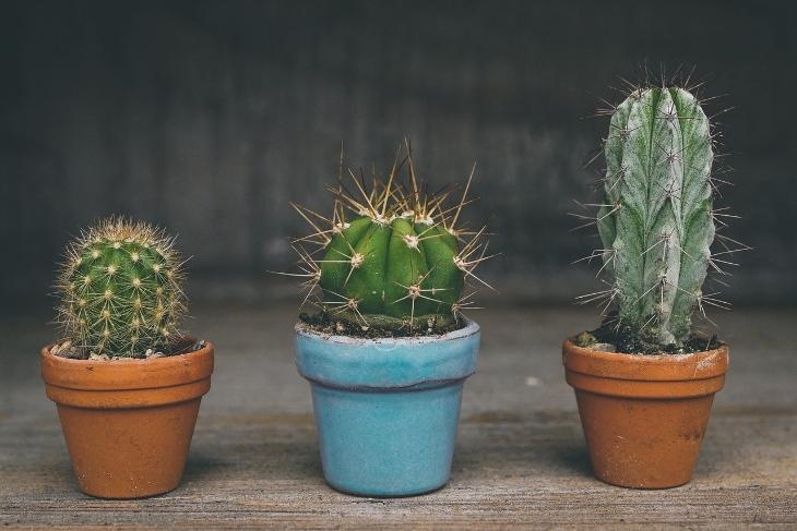 cactus leggenda
